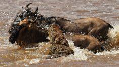 Fotógrafo captó el momento exacto en que un ñu se salva de milagro de ser comido por un cocodrilo