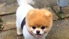 Boo, o cão considerado o mais lindo do mundo, morre um ano após sua companheira