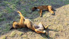Más de 40 mascotas mueren en un pueblo de Argentina en los últimos 3 meses, sospechan envenenamiento
