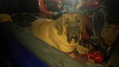 Enorme perro mastín de 86 kilos es rescatado de una montaña luego de una caminata que lo dejó exhausto
