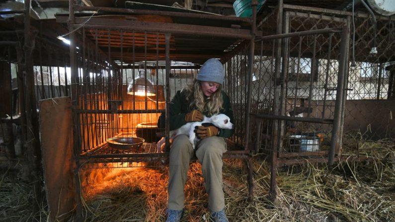 Un miembro de Humane Society International (HSI) lleva a un perro de una jaula a una jaula para su transporte en una granja de perros durante un evento de rescate, que implica el cierre de la granja organizada por HSI, en Hongseong el 13 de febrero de 2019. Esta granja es un negocio combinado de carne de perro (JUNG YEON-JE / AFP / Getty Images)