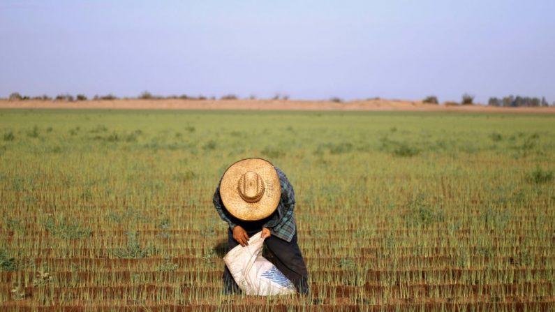 Un jornalero cosecha cebollino en un campo en el Valle de Mexicali, estado de Baja California, México a lo largo de la frontera México-Estados Unidos. (GUILLERMO ARIAS/AFP/Getty Images)