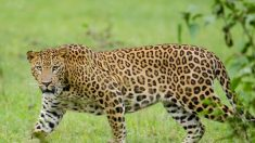 Leopardo faminto entra na cozinha e arrebata bebê de três anos de idade na Índia