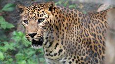 Leopardo ataca cachorro que dormia na porta de sua casa, não se sabe se ele sobreviveu (vídeo)