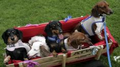 Adolescente toma la foto perfecta de sus 16 perros salchicha y logra ganar un desafío