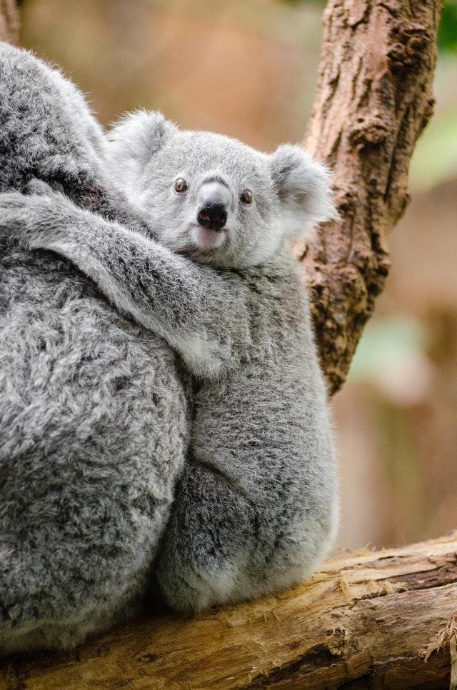 koala-bebé