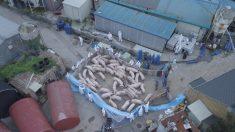 La peste porcina africana se propaga desde China a otros países asiáticos, según la ONU