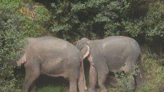 5 elefantes se lanzan a la muerte intentando rescatar una cría que cayó por una cascada
