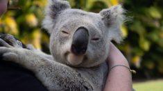 Koala bebé conquista los corazones de sus cuidadores con su ternura y todos desean cuidarla