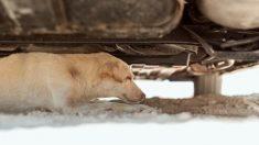 Ve a una perrita herida arrastrándose debajo de su auto en busca de ayuda y entra en acción
