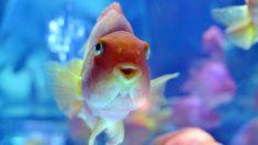 """Este pez se """"emborracha"""" para sobrevivir en el frío del invierno"""