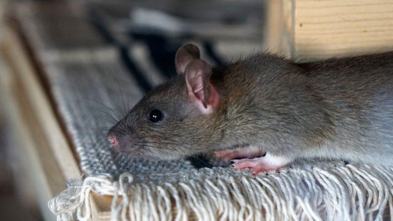 (Imagen ilustrativa de un roedor sobre una repisa. (kirahoffmann | Pixabay)