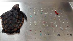 Florida: Pequeña tortuga de mar muere luego de ingerir más de cien trozos de plástico