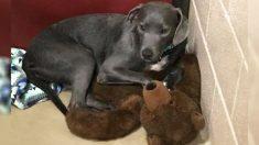 Cachorro de coração partido se apega a urso de pelúcia gigante ao ser abandonado por sua família