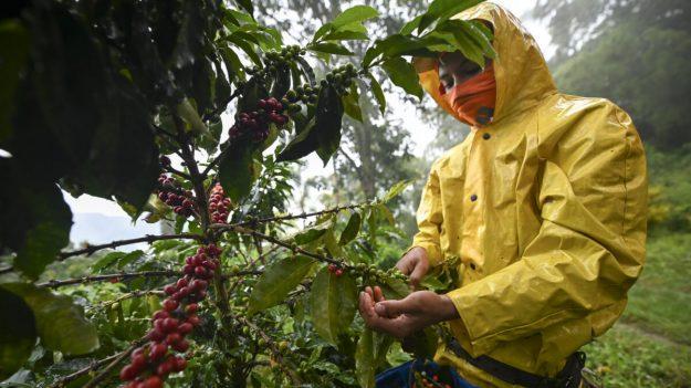 Los precios del café suben a medida que las malas cosechas reducen la oferta, dicen informes