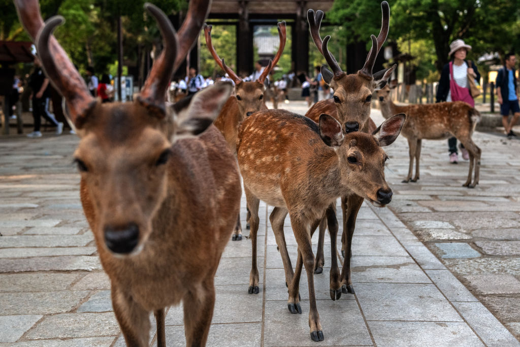 venado-japon-Nara's-Wild-Deer