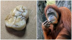 Estudios de un molar fósil arrojan nuevas evidencias de un orangután gigante como King Kong