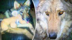 Joven de 18 años lleva a casa a un cachorro abandonado, años después se entera de que es un lobo