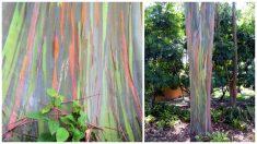 El eucalipto arcoíris, el único árbol que parece una autentica obra de arte pintada por los dioses