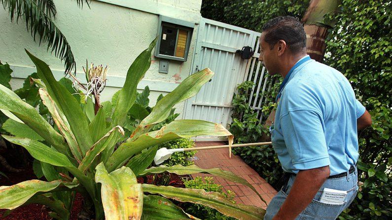 Lawrence Smart, de Control de Mosquitos de Miami-Dade, busca larvas de mosquitos en una planta donde se ha recogido agua para poder erradicarlas el 16 de julio de 2010 en Miami Beach, Florida. (Joe Raedle/Getty Images)
