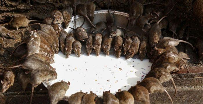 Población de ratas fuera de control en Mongolia Interior mientras miedo a la peste se propaga en China