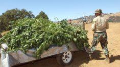 Siembra ilegal de marihuana en California envenena el agua y la vida silvestre