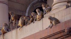 Muere bebé tras ser atacado por un mono que le arrojó una piedra en la India
