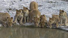 108 leões doentes são encontrados em criadouro abandonado na África do Sul