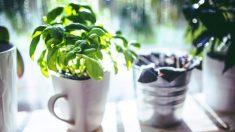 8 plantas medicinales fáciles de cultivar en casa, en solo una maceta puedes tener un remedio casero
