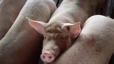 Alerta en Centroamérica y México por brote de peste porcina africana