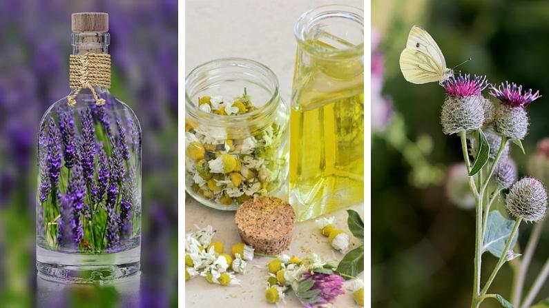 Hierbas medicinales. Imágenes Ilustrativas (Alexas_Fotos/zerin117/Hans Linde/Pixabay)