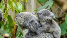 Pequeño koala abraza a su mamá durante la cirugía luego de ser atropellada por un coche