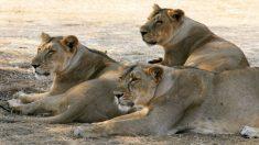 Este increíble equipo femenino de rescatistas de leones no se parece a nada que hayas oído antes