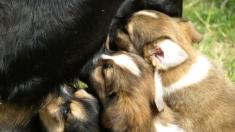 Perra es abandonada y encadenada en una cerca en el campo mientras amamantaba a sus 6 crías