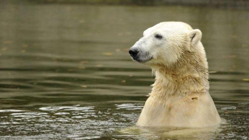 El oso polar Knut nada en su recinto del zoológico Tiergarten de Berlín el 19 de octubre de 2010. (Odd Andersen/AFP/Getty Images)