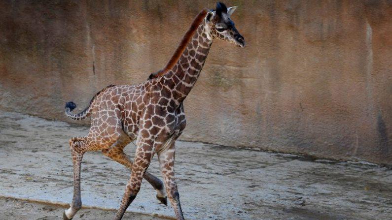 Una cría de jirafa Masai hembra de dos semanas de edad corre en su recinto en el zoológico de Los Ángeles en California el 22 de noviembre de 2016. (Mark Ralston/AFP/Getty Images)