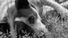 Cachorro leva 40 tiros, é amarrado e enterrado vivo, mas equipes de resgate o ouvem ganindo