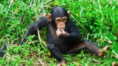Filhote 'comido vivo' por vermes é salvo e sovrevive graças ao amor de chimpanzés resgatados