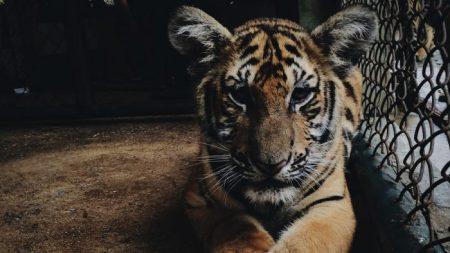 Mujer de 66 años es hospitalizada después de ser atacada por dos tigres de Bengala en California