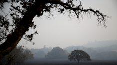 Graves enfermedades infecciosas amenazan a los robles en California