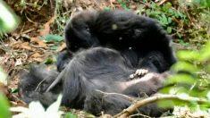Los gorilas lloran a sus muertos y tienen funerales como los humanos, revela estudio
