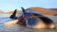 Cachalote es encontrado muerto con una 'bola de basura' de 100 kg en su estómago