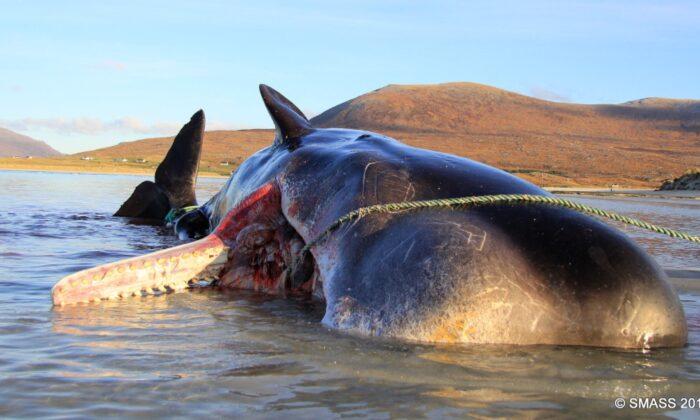 El cadáver del cachalote fue descubierto por los residentes de la Isla de Harris en la playa de Seilebost en Escocia el 28 de noviembre de 2019. (Cortesía del Scottish Marine Animal Strandings Scheme)