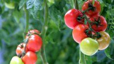 Las plantas emiten 'gritos' ultrasónicos cuando están estresadas, aseguró un estudio