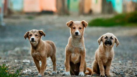 Bacteria resistente a antibióticos vinculada al contacto con cachorros de perro brota en 13 estados