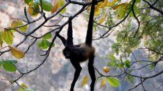 Mono araña vuelve a nacer en el Cañón del Sumidero de México, después de 30 años extinta en la zona