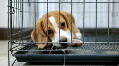Foto de Beagle 'abraçando' socorrista após ser salvo da eutanásia durante 'passeio da liberdade' se torna viral