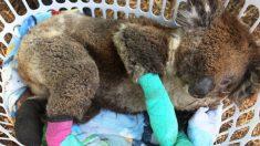 Filho do caçador de crocodilos Robert Irwin revela com tristeza a situação dos coalas nos incêndios florestais na Austrália