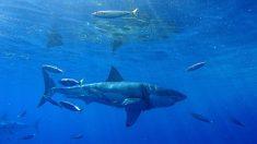Pescadores atrapan un tiburón blanco de 4 metros de largo en Florida