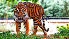 """Antiguas historias chinas: """"Salvando a la madre de la boca del tigre"""""""